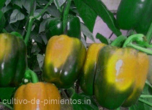 cultivo de chile morron