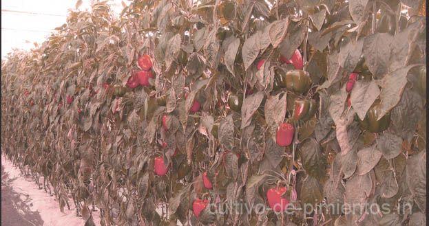 cultivo de chile morrón o pimiento