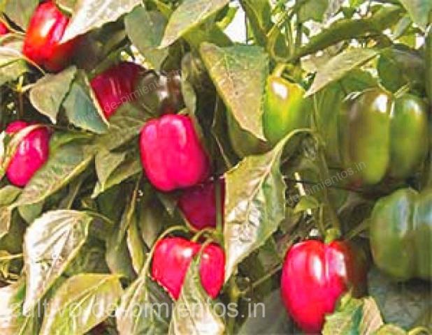 cultivo de chile morrón rojo