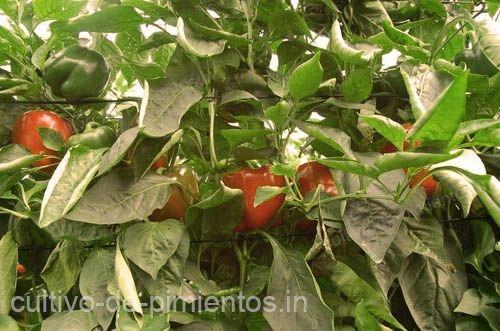 como cultivar chile morrón